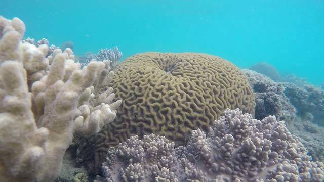brain coral seen on a snorkel tour with zigzag whitsundays